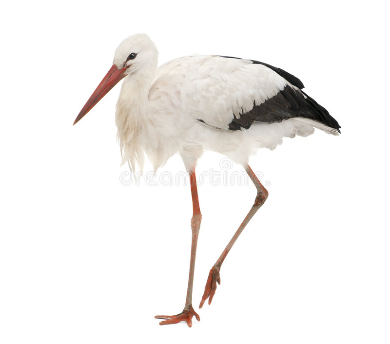 White Stork - Ciconia ciconia (18 months) royalty free stock images