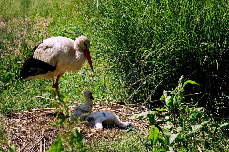 A white stork, ciconia ciconia. (ciconiiadae), inspecting offspring stock photo
