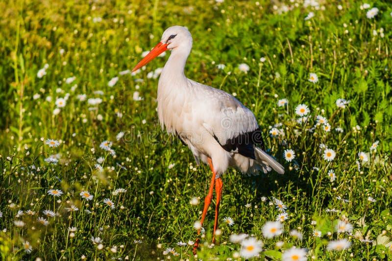 The white stork (Ciconia ciconia) royalty free stock photo