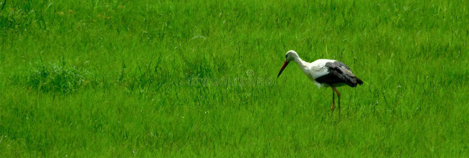 White stork hunting for grasshoppers. A white stork Ciconia ciconia hunting for grasshoppers in grasslands. Long red beak, white and black feathers, thin, red stock images