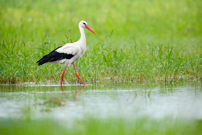 White stork, Ciconia ciconia, on the lake in spring. Stork in green grass. Wildlife scene from the nature. Beautiful bird in the w royalty free stock photos