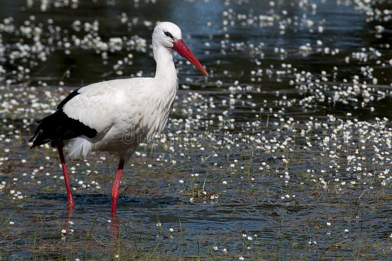 White stork Ciconia ciconia r in spring stock photos