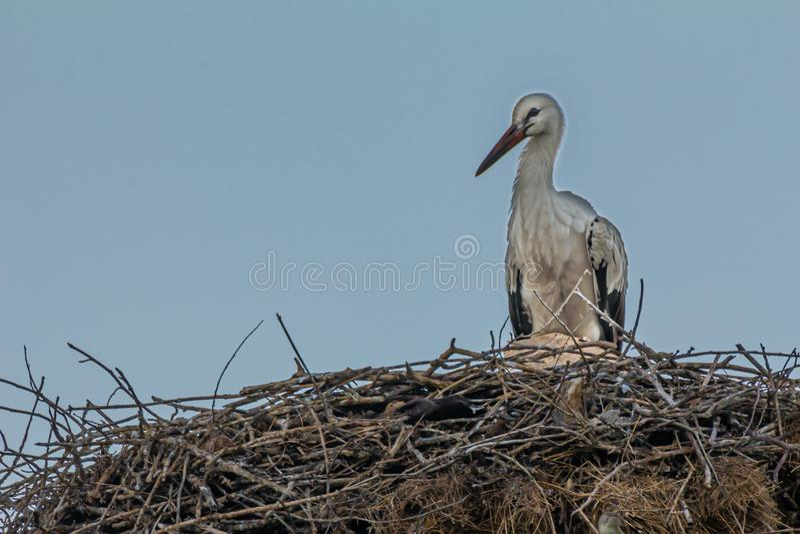 White stork, Ciconia ciconia, family Ciconiidae. Animalia, Chordata, Aves, Ciconiiformes. White stork, Ciconia ciconia, large bird, stork family Ciconiidae. Its royalty free stock photo