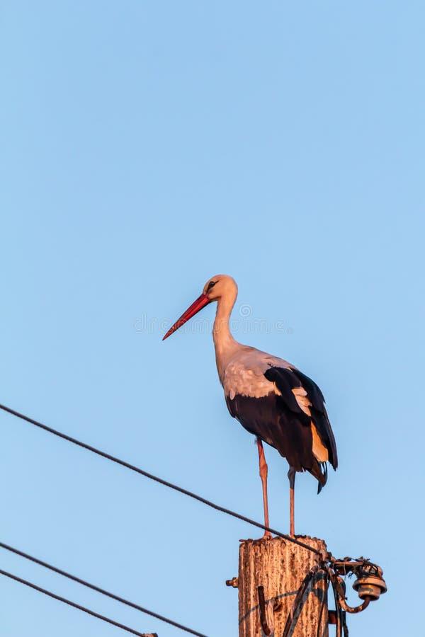White stork, Ciconia ciconia, family Ciconiidae. Animalia, Chordata, Aves, Ciconiiformes. White stork, Ciconia ciconia, large bird, stork family Ciconiidae. Its royalty free stock photography
