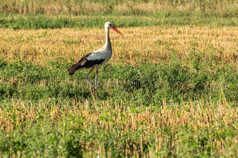 White stork, Ciconia ciconia, family Ciconiidae. Animalia, Chordata, Aves, Ciconiiformes. White stork, Ciconia ciconia, large bird, stork family Ciconiidae. Its stock images
