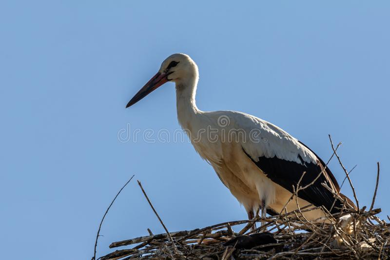 White stork, Ciconia ciconia, family Ciconiidae. Animalia, Chordata, Aves, Ciconiiformes. White stork, Ciconia ciconia, large bird, stork family Ciconiidae. Its stock photo