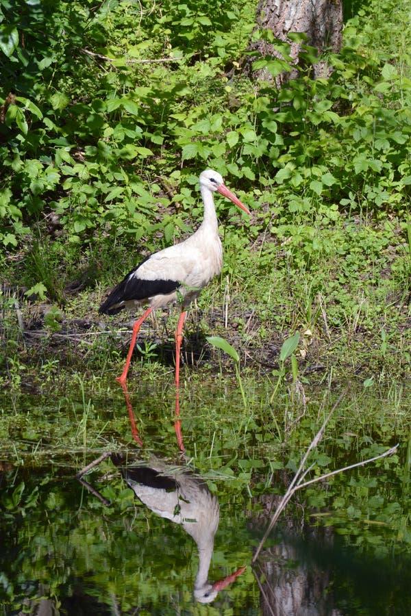 White stork Ciconia on lake coast and reflection stock image