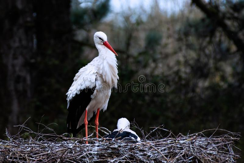 Couple of white storks at nest. The white stork,Ciconia ciconia, is a large bird in the stork family Ciconiidae. Its plumage is mainly white, with black on its