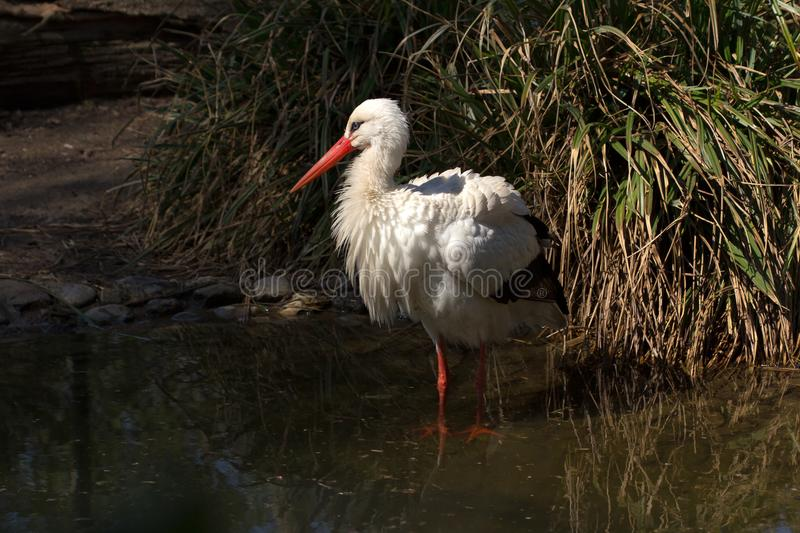 White ciconia bird. The White Stork Ciconiidae is a large wading bird in the stork family Ciconiidae. Photography of wildlife royalty free stock photography