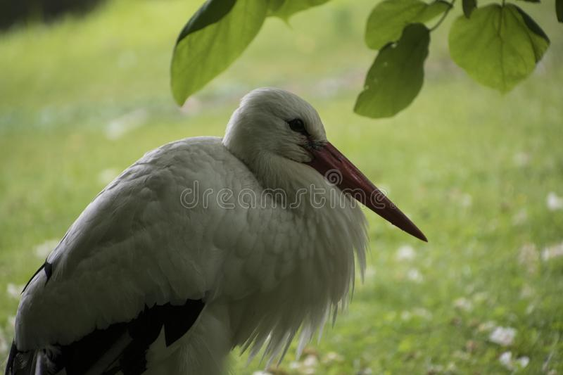 White stork closeup in park in the meadow royalty free stock photo