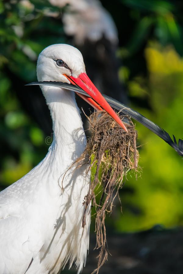 A white stork collecting nesting material. A blue eyed white storck collecting nesting material. ciconia ciconia royalty free stock image