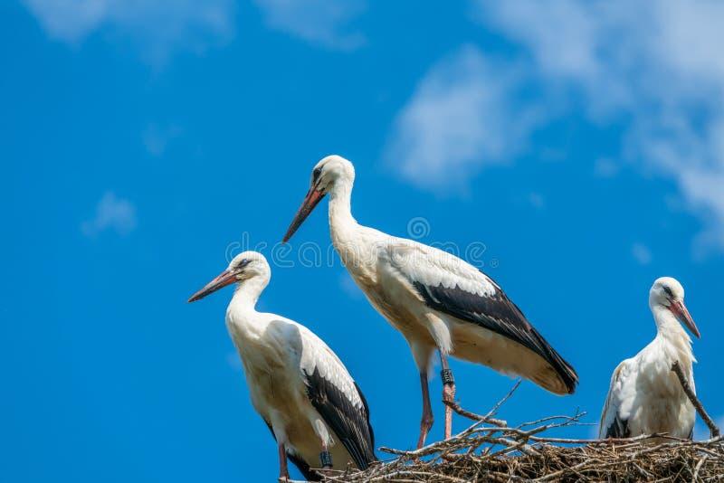 White stork family - Ciconia ciconia royalty free stock photos