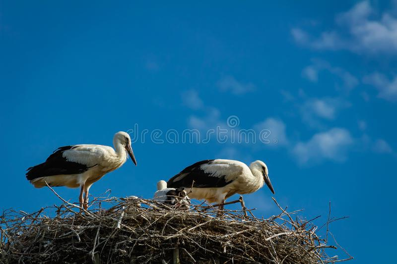 White stork family in nest with blue sky stock images
