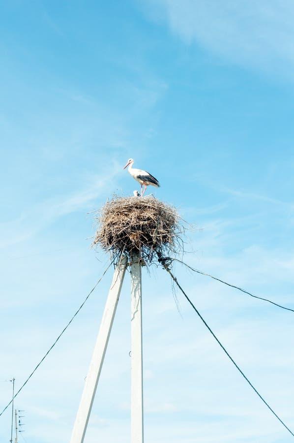 White stork family nest with little babies stock photo