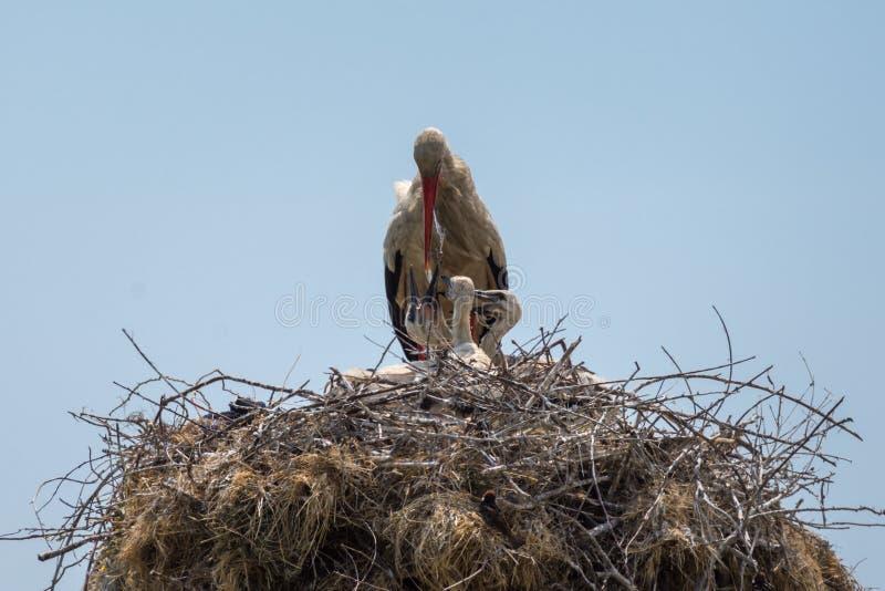 White stork feeding her family stock image