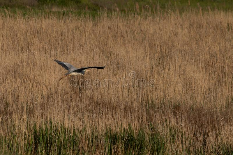 A white stork flies over a river densely overgrown with reeds.  stock photos