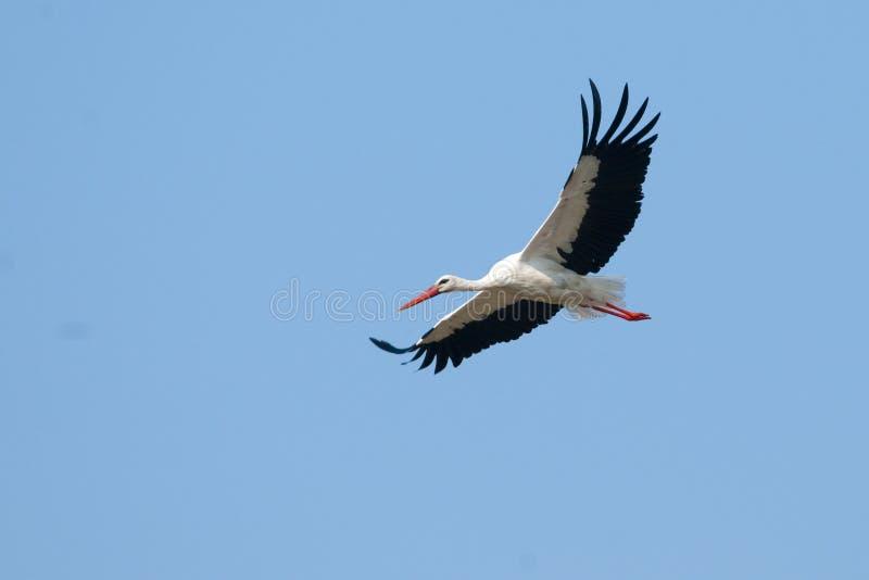 White Stork in flight royalty free stock image