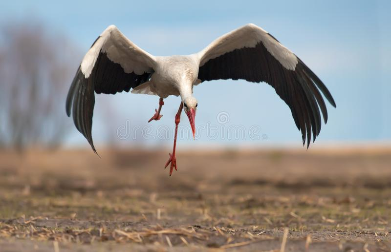 White stork taking off from bare ground field royalty free stock photography