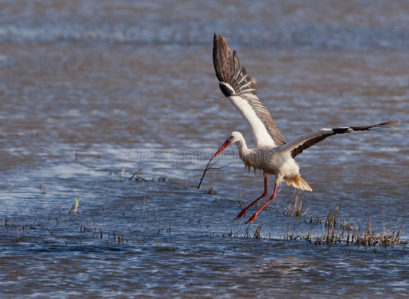 White Stork flying with twig. Still far from the breeding season, a White Stork (Ciconia ciconia) plays with a twig jumping over a lagoon at the Aiguamolls del stock photography