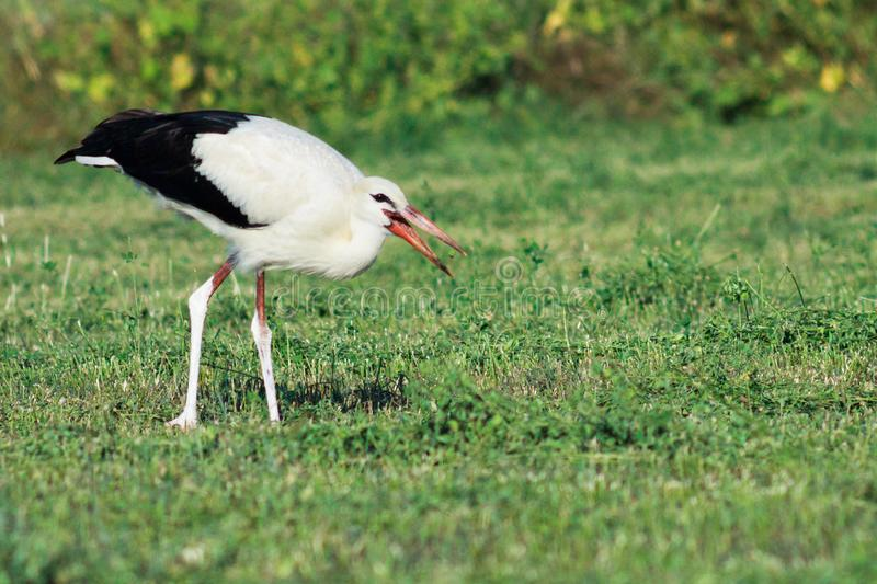 White stork on green field eating worms stock image