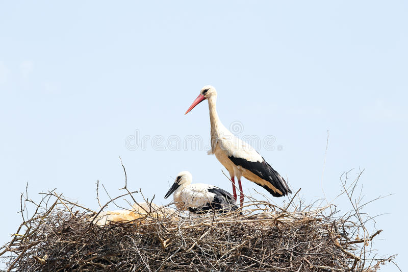 White Stork With Her Baby In Spring Stock Photo