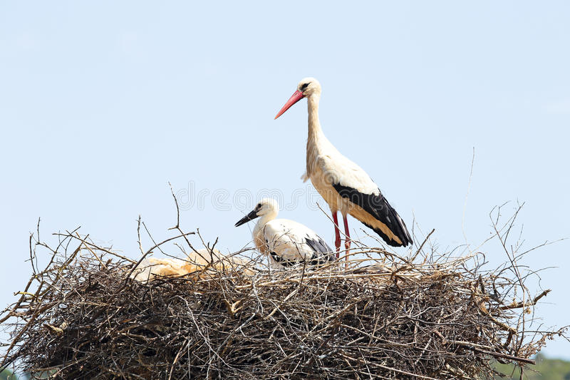 White stork with her baby in spring. White stork with her baby on her nest in spring royalty free stock image