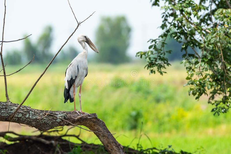 White stork holding dried branch royalty free stock image
