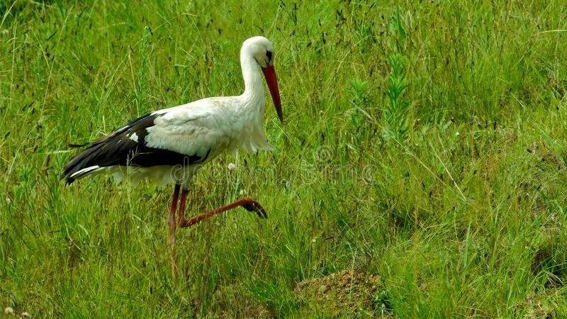 White stork hunting for grasshoppers. A white stork Ciconia ciconia hunting for grasshoppers in grasslands. Long red beak, white and black feathers, thin, red stock photos