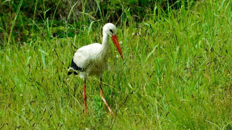 White stork hunting for grasshoppers. A white stork Ciconia ciconia hunting for grasshoppers in grasslands. Long red beak, white and black feathers, thin, red stock photo