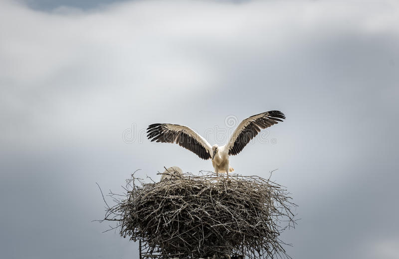 White stork in its nest royalty free stock photography