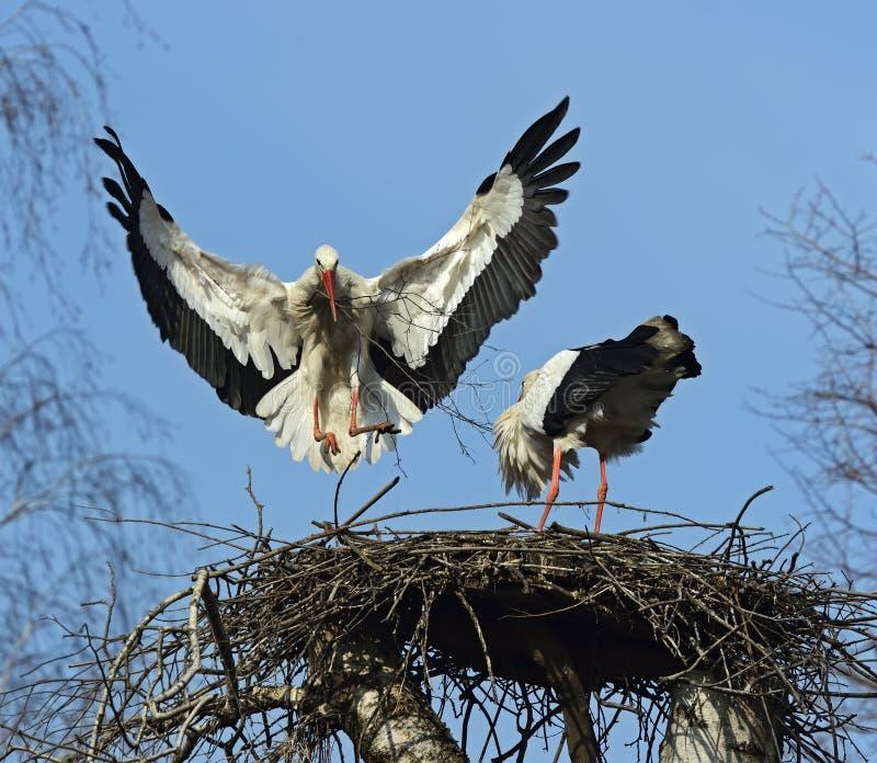 Download White Stork stock photo. Image of wild, wilderness, white - 39514768