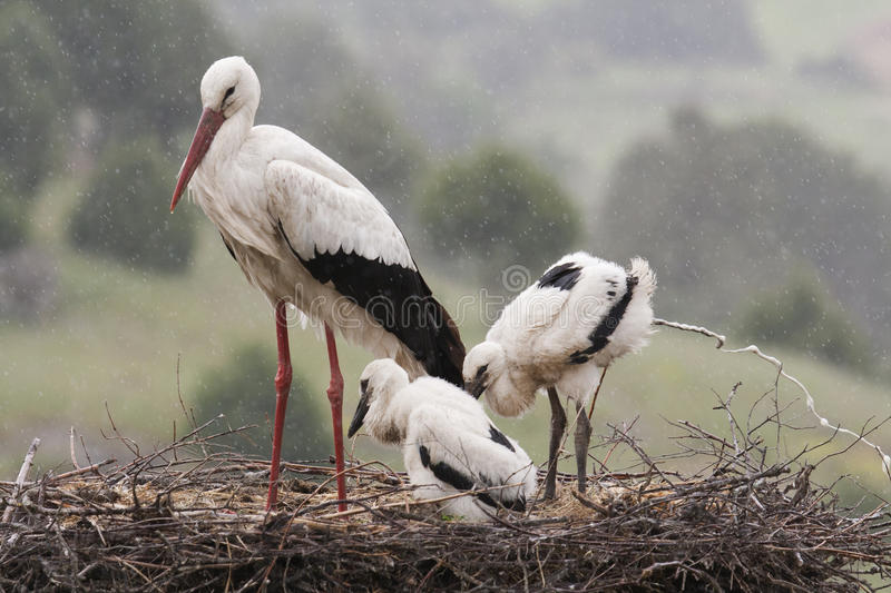 White Stork nest with two chicks stock photography