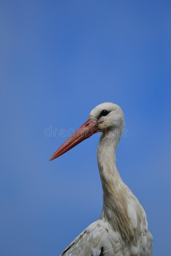White Stork-Ciconia ciconia, observes the surroundings. royalty free stock images