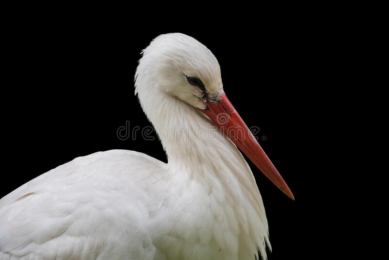 White stork portrait closeup, isolated on black background.  stock photography