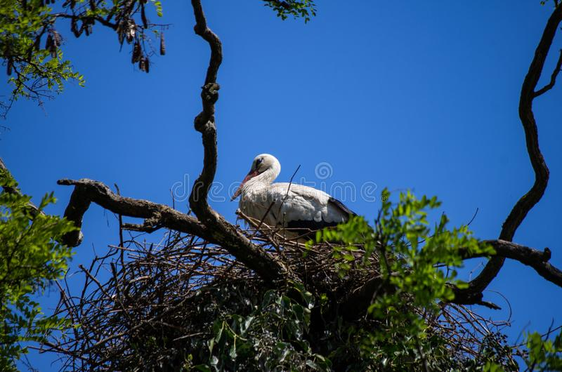 A white stork with red beak sitting on nest on top of a tree sunny spring day, bright blue sky stock images