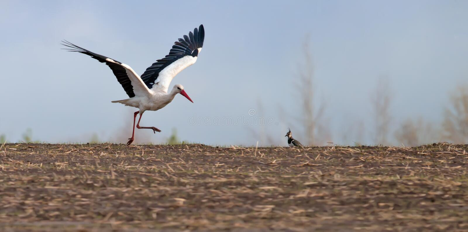 White Stork runs on the ground and to take wing stock images
