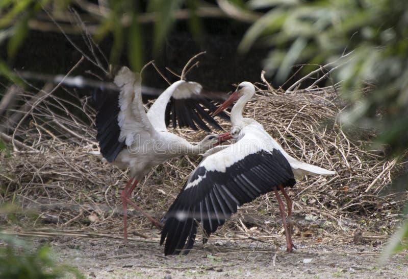 White stork royalty free stock photography