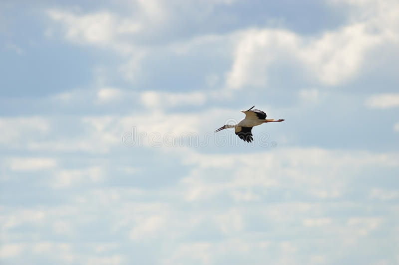 Download White Stork in the sky stock photo. Image of flying, wild - 21614778