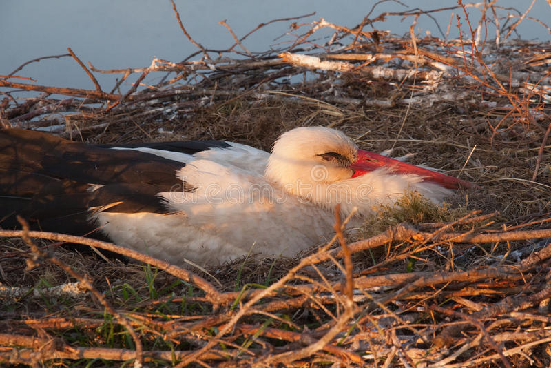 White stork sleeping in nest stock photography