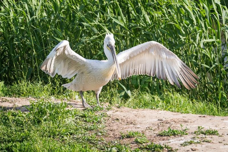 White stork spreads its wings. On the river bank stock images
