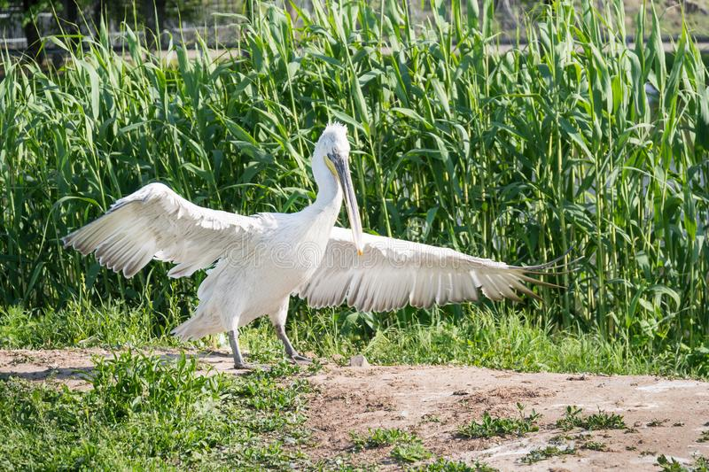 White stork spreads its wings. On the river bank stock photography