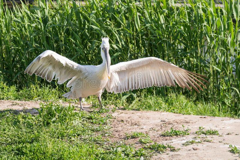 White stork spreads its wings. On the river bank stock photos