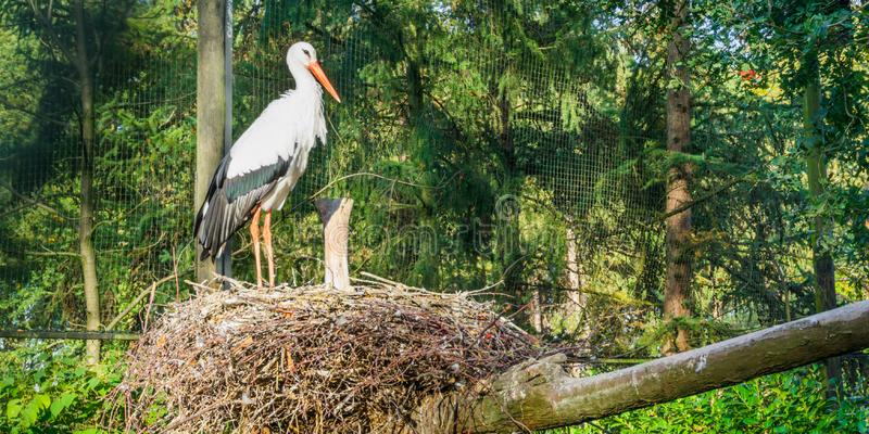 White stork standing in its nest watching and looking around, migrated bird from Africa stock images