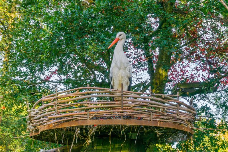 White stork standing in a nest front view, tropical migrated bird from africa royalty free stock photos