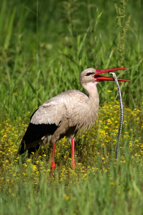 White stork swallow a big snake royalty free stock images