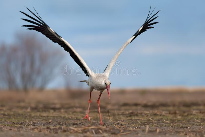 White stork taking off with lifted wings royalty free stock photo