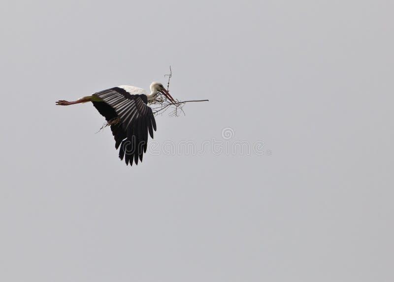 White Stork on transport royalty free stock photos
