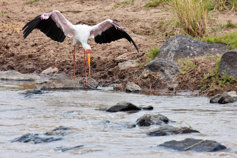 White Stork Volant Bent To The Water Stock Photography