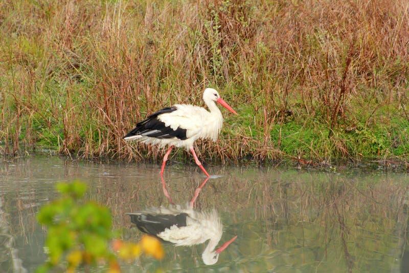 White stork walking, fishing, fishermen and hunt fish on lake in nature. Stork standing in water its natural habitat. stock photography