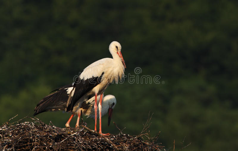 Download White storks stock image. Image of couple, family, wings - 21631091
